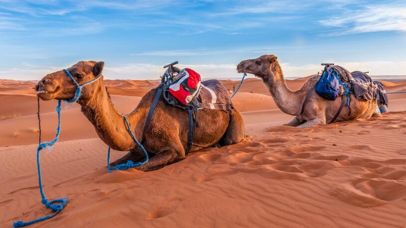 Motorrad Reise Marokko Dromedare